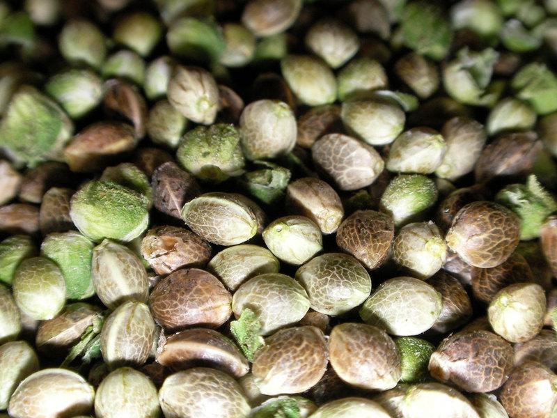 Зеленые семена конопляные италия и марихуана